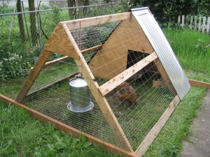 Chicken-keeping made permanent in West Columbia