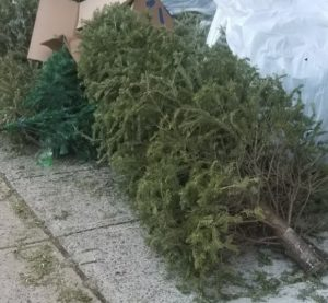 West Columbia Christmas tree pick-up begins this week