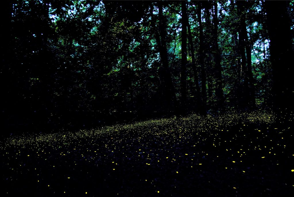 Synchronized fireflies put on a show at Congaree National Park, visitors welcome